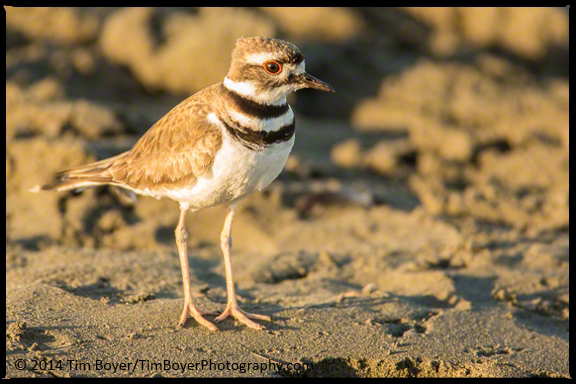 Killdeer trying to figure out if it should do the distraction display or if I wasn't a threat.