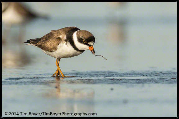 Semipalmated Plover eating a marine worm.