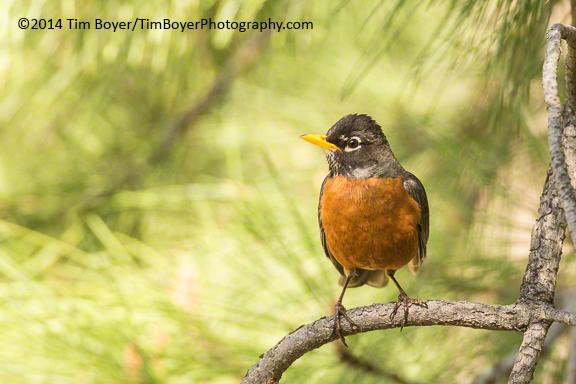 American Robin Wenas Canyon, WA