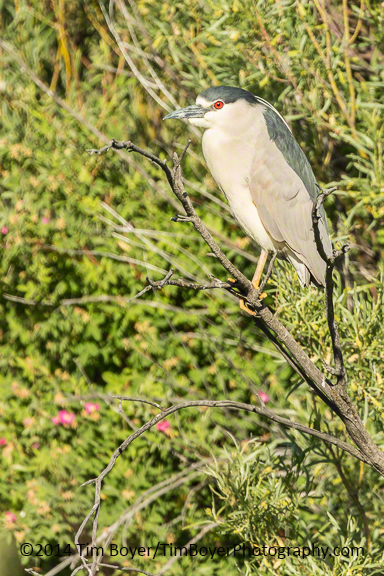Black-crowned Night-Heron, Malheur NWR