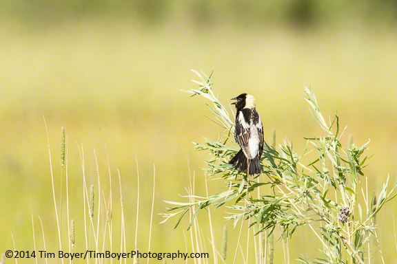 Bobolink from half a mile north of P Ranch