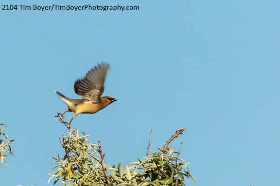 Cedar Waxwing near P Ranch