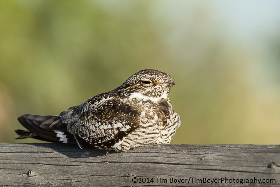 Common Nighthawk at The Narrows RV park
