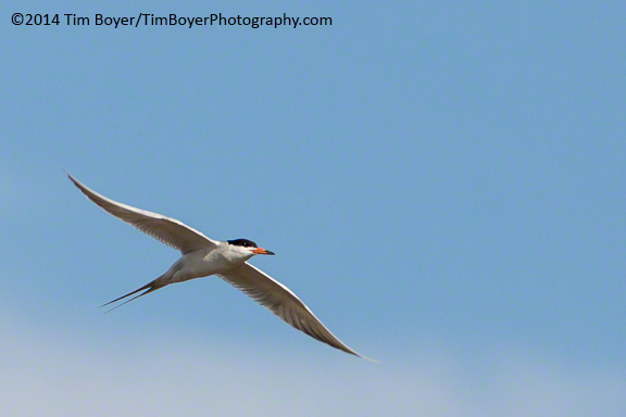 Forster's Tern from the Narrows
