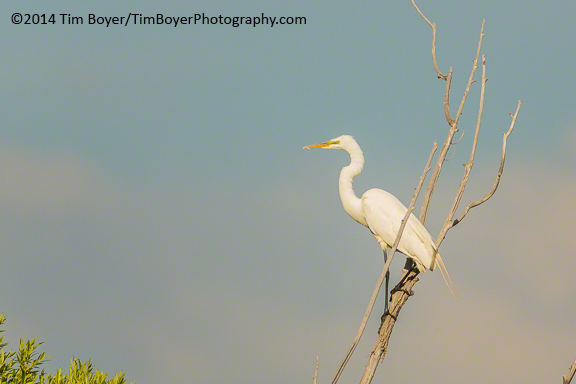 Great Egret, Benson Lake, Malheur NWR