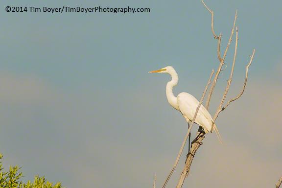 Great Egret, Benson Lake, Malheur NWR