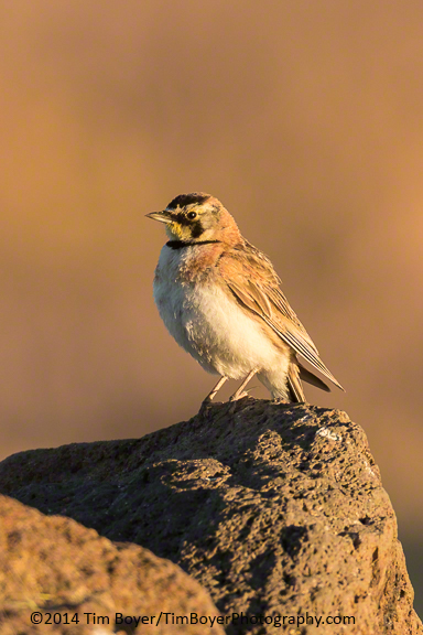 Horned Lark on teh Foster Flats Road