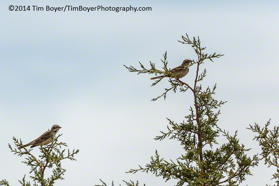 Lark Sparrows, Steens Mountain Road