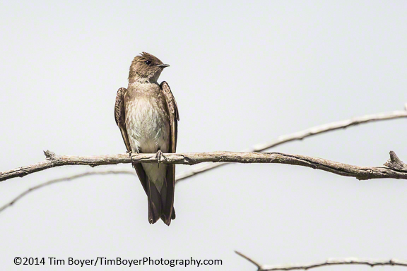 Northern Rough-winged Swallow, Malheur NWR