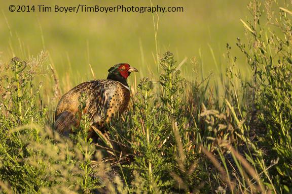 Ring-necked Pheasant, Malheur NWR