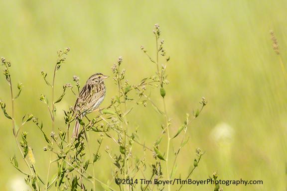 Savanna Sparrow, near P Ranch, Malheur National Wildlife Refuge