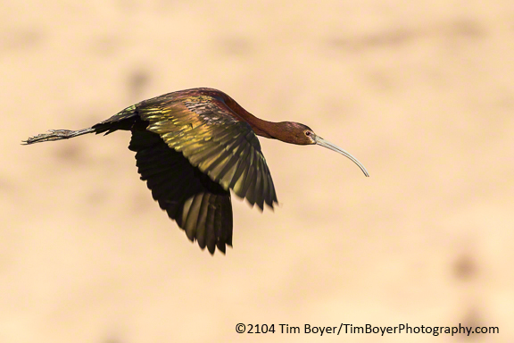 White-faced Ibis form near P Ranch
