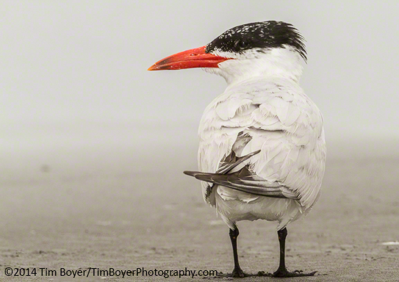 Caspian Tern hanging out on the beach.