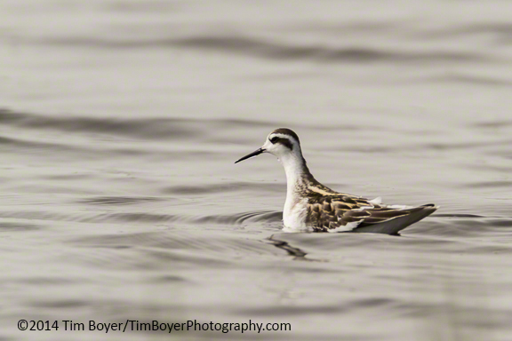 Red-necked Phalarope, Oyehut Wildlife Area.