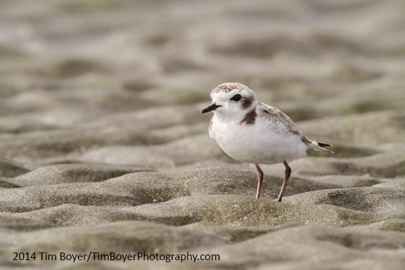 Snowy Plover, Grayland/Midway beaches, Washington outer coast.