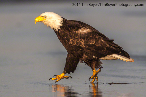 Taken at Ocean Shores WA. A Bald Eagle walking donw the  beach.