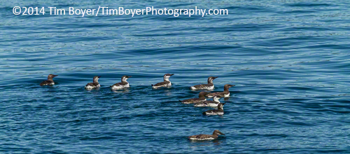 A group of Common Murre.