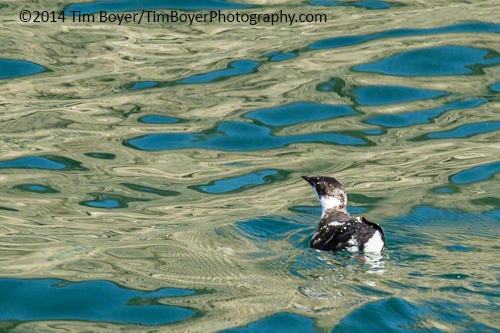 Marbled Murrelet off the  coast of San Juan Island.