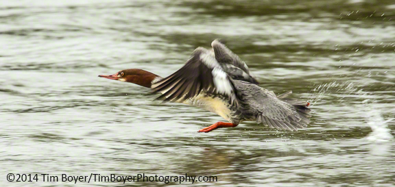 Common Merganser female, ISO 2000, 1/640 of a second, f/8 Canon 7D Mark II, 100 to 400 mm zoom lens, 1.4 Extender.