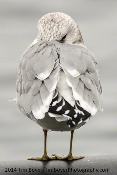 Mew Gull ISO 800