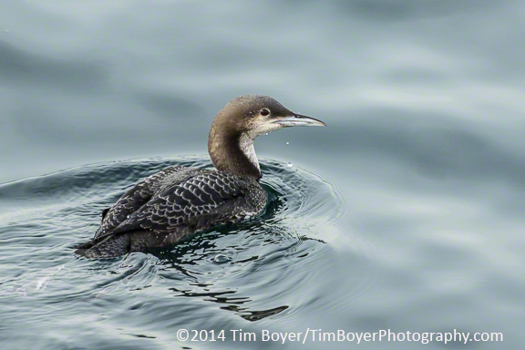 Pacific Loon juvenile ISO 500, 1/400 of a second at f/6.3