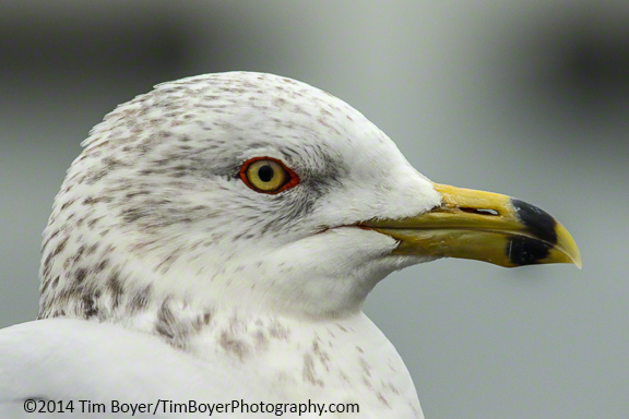 Ring-billed Gull. ISO 1250, 1/1600 at f/8. Canon 7D Mark II with the 100 to 400 mm zoom,