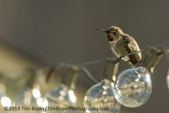 Anna's Hummingbird from the backyard in Renton