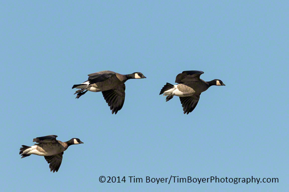 Cackling Geese coming into the Boeing Ponds n Kent.