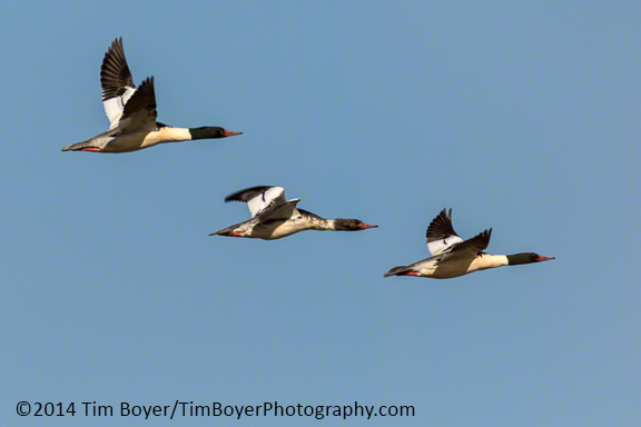 Common Mergansers flying out of the Boeing Ponds.