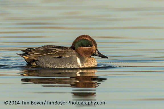 Green-winged Teal at the Boeing Ponds.