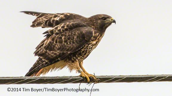 Red-tailed Hawk near Edison WA.