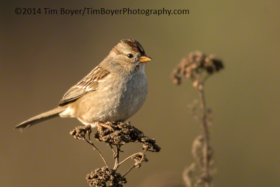 White-crowned Sparrow at the Boeing Ponds.