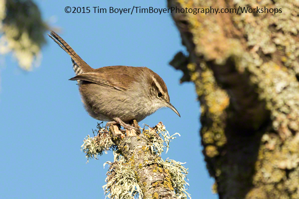 Bewick's Wren. 1/500 of a second, f/7.1 at ISO 400. Canon 7D Mark II.