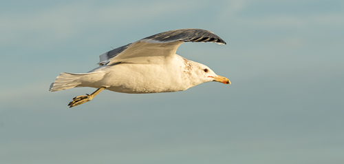 California Gull, Coronado, CA. 1/800 of a second, f/9, ISO 640 With the Canon 7D Mark II and the 70 to 200 f/2.8 zoom lens.
