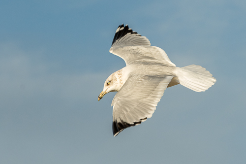 Ring-billed Gull in flight at Coronado, CA. Canon 7 D Mark II and the 70 to 200 f/2.8 zoom lens. 1/1000 of a second, f/9, and ISO 640 at 145 mm.