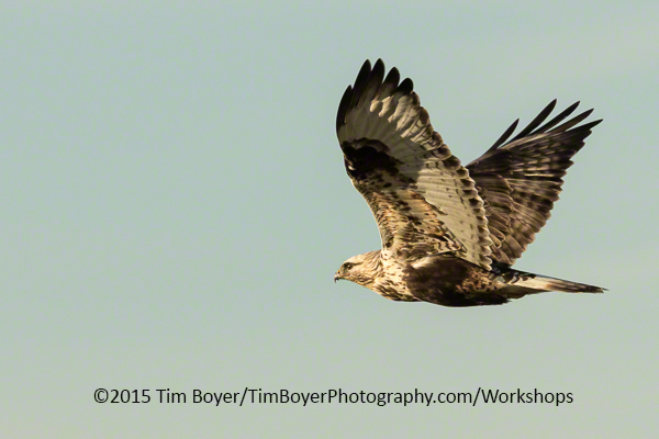 Rough-legged Hawk. 1/800 of a second at f/8 and ISO 250. Canon 7D Mark II.