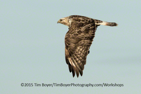 Rough-legged Hawk same settings as above.