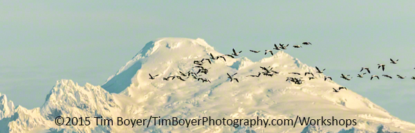 Mount Baker and Snow Geese. 1/1600 of a second, f/5.6 at ISO 320. at 400 mm on the 100 to 400 zoom lens.
