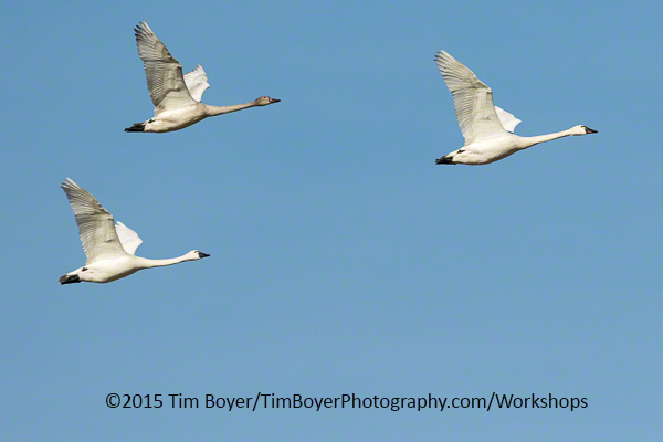 Tundra Swans. 1/1250 of a second, f/8, at ISO 320. 400 mm witht eh 100 to 400 Canon zoom lens.