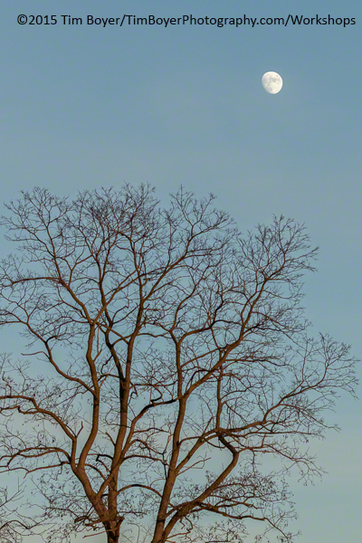 Tree & Moon. 1/250 of a second f/7.1 ISO 320 witht eh Canon 7D Mark II.