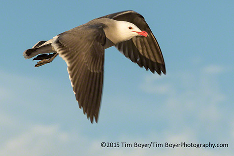 Heermann's Gull Coronado.
