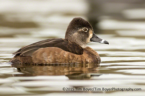 Female Ring-necked Duck Santee Lakes.