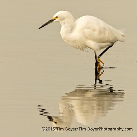 Snowy Egret feeding.