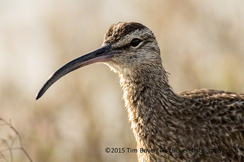 Whimbrel at one of th e local estuaries.