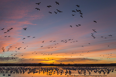 Snow Geese take flight at sunrise blasting off sometimes in huge flocks.making a lot