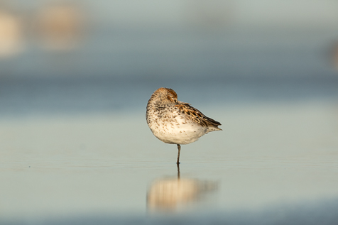 Centered Western Sandpiper. Avoid this by putting the bird in the corner or cropping to the Rule of Thirds.