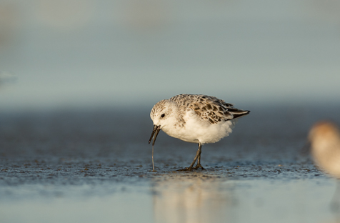 A Western Sandpoper sneeking into the frame of the Sanderling on the beach.