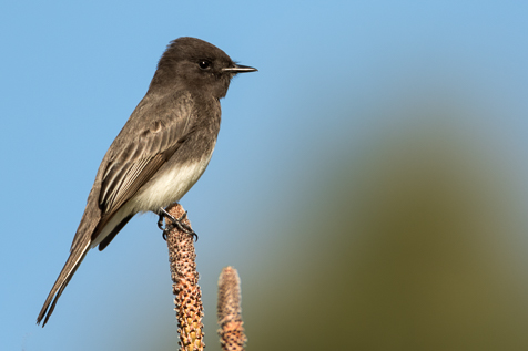 Front-lighting on a Black Phoebe.