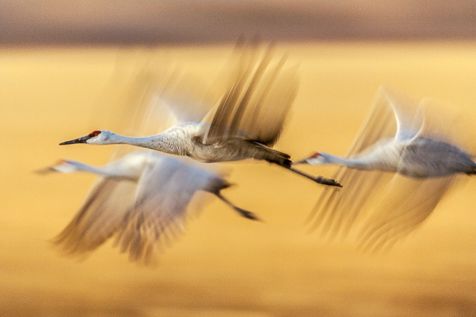 The near Sandhill Crnaes eye is sharp enough so the rest of the blurred bird doesn't matter.