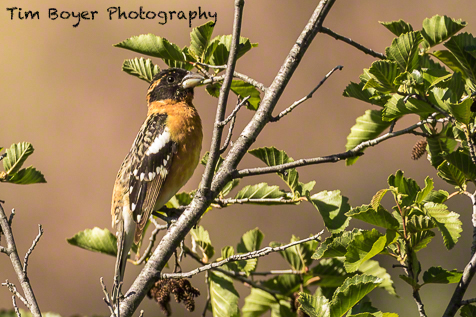 This Black-headed Grosbeak was pretty far away, so I had to crop this image quite a bit.